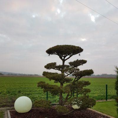 Neupflanzung Großbonsai